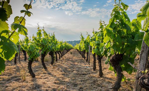 Vitis Vinifera Beaujolais