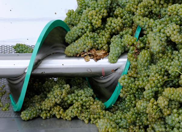 pigiatura uva